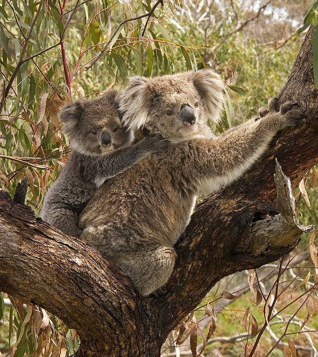 640px-Koala_and_baby